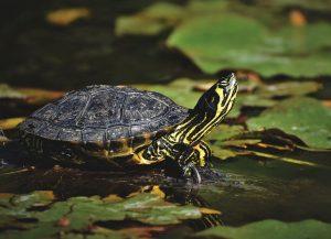 Ornez votre bague d'une tortue